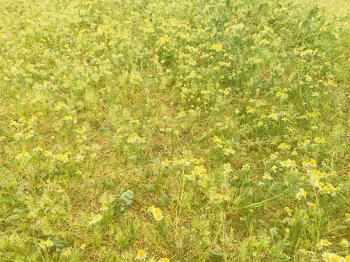 AI and fields of camomile